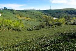 Green tea plantation, Aerial view green tea plantation at Dalat highland, Lam Dong, Vietnam.