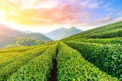 Green tea plantation at sunset time,nature background.