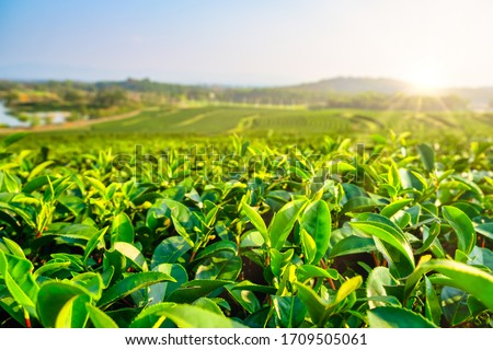 Green tea plantation landscape in the morning. organic agriculture in countryside. Photo stock ©
