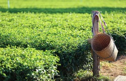 Green tea plantation with bamboo wood basket in the morning