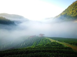 Green Tea plantations in morning light with mist and little home at the Northern of Thailand