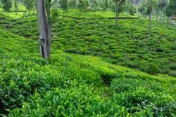 Green tea terraces around Haputale, Sri Lanka