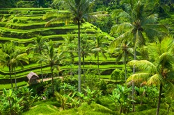Green terrace rice fields in Ubud, Bali, Indonesia.
