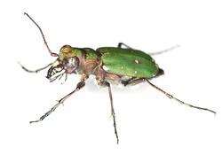 Green tiger beetle (Cicindela campestris) isolated on white background, macro photo, focus on eyes