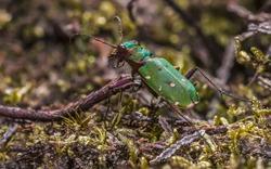 Green Tiger Beetle (Cicindela campestris) on hethland