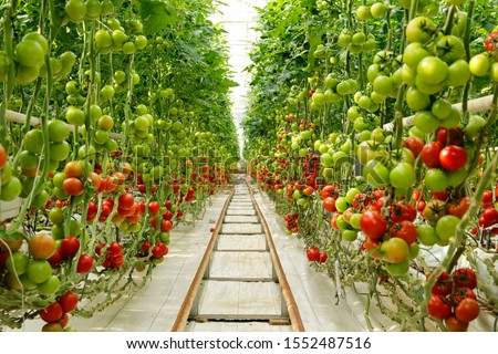 Green tomatoes in the greenhouse Stock photo ©