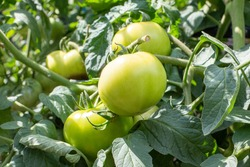 Green tomatoes on a branch.