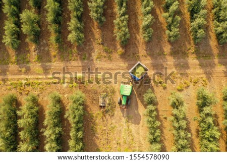 Green Tractor and trailer loaded with fresh Harvested ripe Olives crossing an Olive Tree plantation, Top down aerial image.