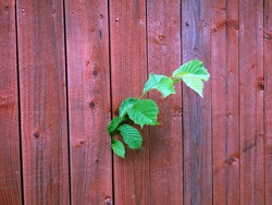 Green tree branch growing through the red wooden fence