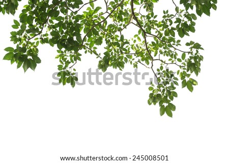 green tree branch isolated #245008501