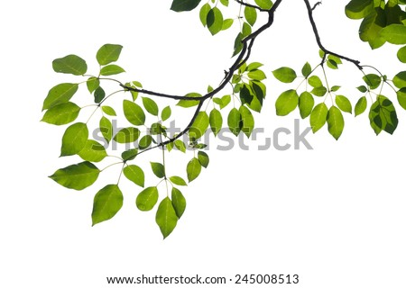 green tree branch isolated #245008513