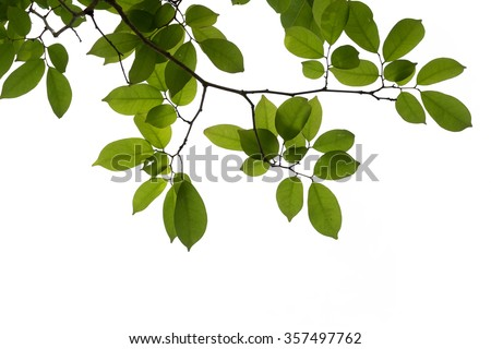 green tree branch isolated #357497762