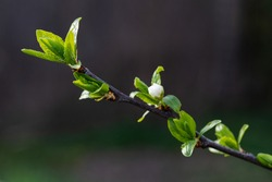 Green tree buds in spring. Young buds on branches against blurred background. View close up. Few buds for spring theme.