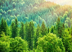 Green tree forest background, beautiful bird eye view on fresh pines in the morning sun light, Europe, Germany, Alpine mountains