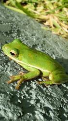 Green Tree Frog American Green Tree Frog