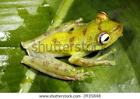 Green tree frog (Hypsiboas pellucens)