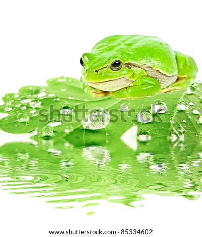 green tree frog on dewy leaf - stock photo