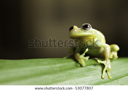 green tree frog on leaf in tropical amazon rainforest background with copy space