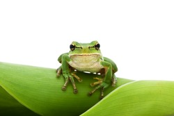 Green Tree Frog on leaf isolated on white background. Shallow DOF.