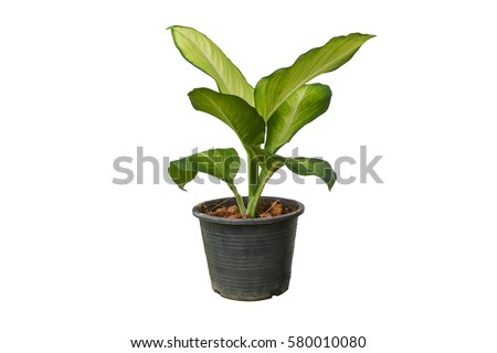Green tree in a pot isolated on white background. #580010080