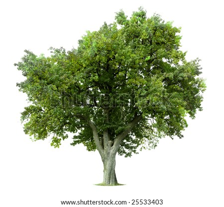 Green tree isolated on white - Shutterstock ID 25533403