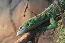 Green Tree Monitor Lizard Reptile