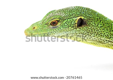Green Tree Monitor Lizard (Varanus prasinus) on white background.