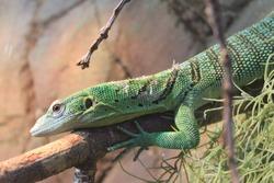Green Tree Monitor - Varanus Prasinus - Lizard - Reptile