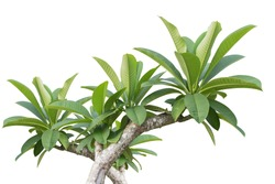 Green tree of Frangipani flower isolated on white background. Saved with clipping path