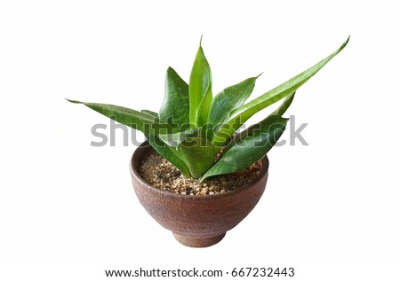 Green tree plant in brown terracotta pot for indoor isolated on white background,Potted plants,Succulent plants  #667232443