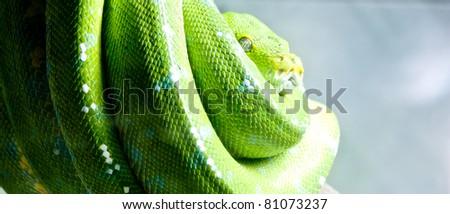Green Tree Python Chondropyhon viridis  Green Snake