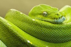 green tree python clear