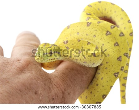Green tree python curled up on human arm on white background