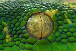 Green tree python eyes, eye, eye snake,