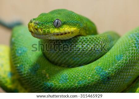 Green Tree Python, focus on the eye