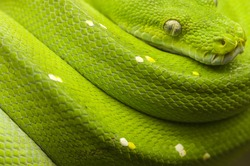 green tree python full