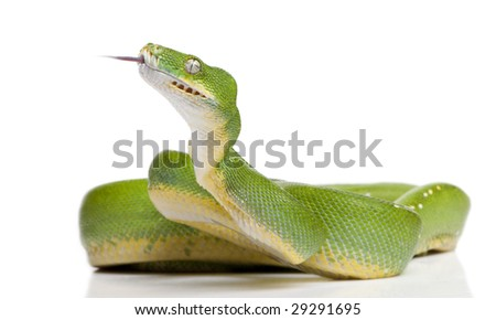 green tree python - Morelia viridis (5 years old) in front of a white background
