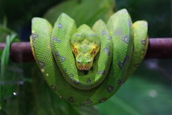 Green Tree Python on a branch