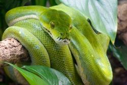 Green tree python on a tree branch