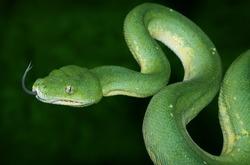 Green Tree Python with dark green background