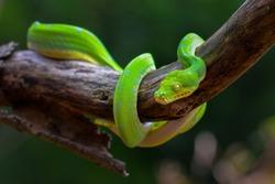 Green tree pyton on branch
