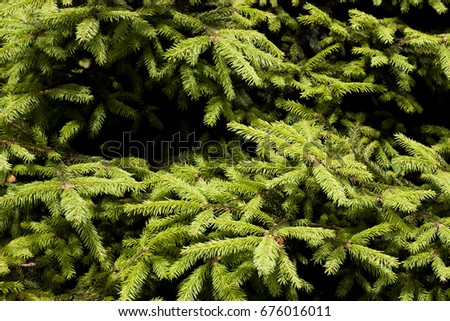 Green tree spruce branches nature summer