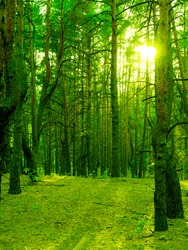Green tree trunks in the setting sun in the wild forest.
