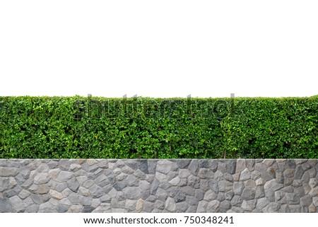 Green tree wall fence with stone or rock planter, bush or shrub hedge trimming, (Siamese rough bush, Streblus asper Lour. tree), isolate on white