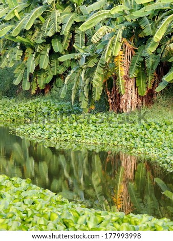 Green tropical floating water orchids, water plants on a small canal in country with smooth water surface reflections of banana and other tropical trees growing on the bank