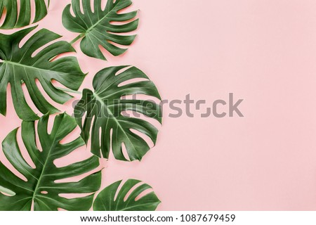 Green tropical leaves Monstera on pink background. Flat lay, top view