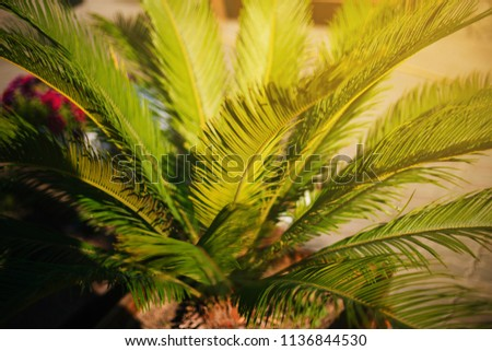 Green tropical palm. Large leaves