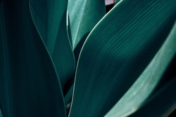 Green tropical plant close-up. Abstract natural floral background Selective focus, macro. Flowing lines of leaves