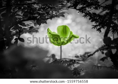 Green tulip soul black white for peace heal hope. The flower is symbol for power of life and mind strength beyond grief death and sorrows. Also symbolizes healing of stress or burnout