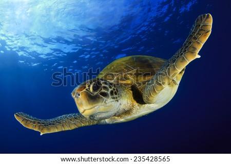 Stock Photo Green Turtle